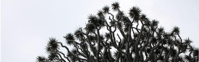 Drachenblut – ein Wirkstoff aus der Natur